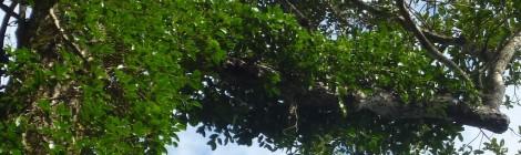 Iniziato il progetto per la raccolta sostenibile del pepe selvatico