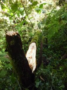 una pianta tutrice della liana del pepe selvatico tagliata indiscriminatamente
